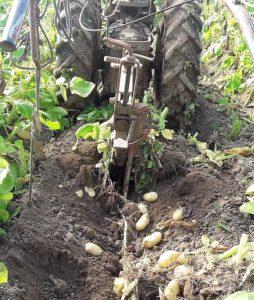 La pomme de terre primeur est arrivée !! Délicieusement Bio…